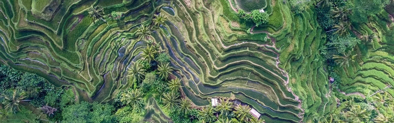 Landscape of rice paddies in Bali Indonesia