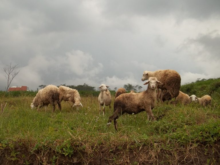Sheep in Batu, Malang, Indonesia Landscape